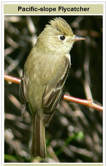 PacificSlopeFlycatcher