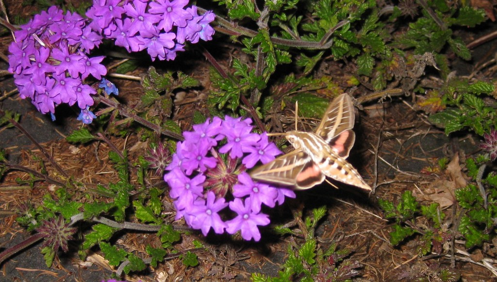 hummingbird-moth-back