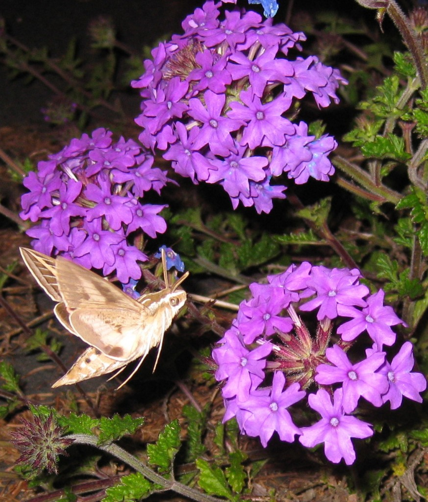 hummingbird-moth-side