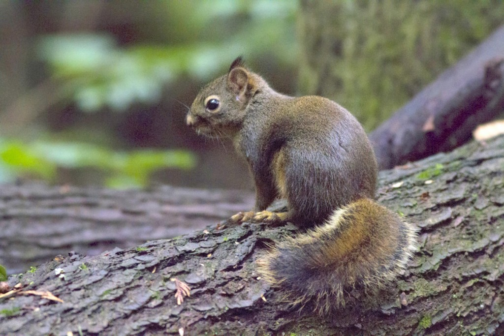illahee-douglas-squirrel_1