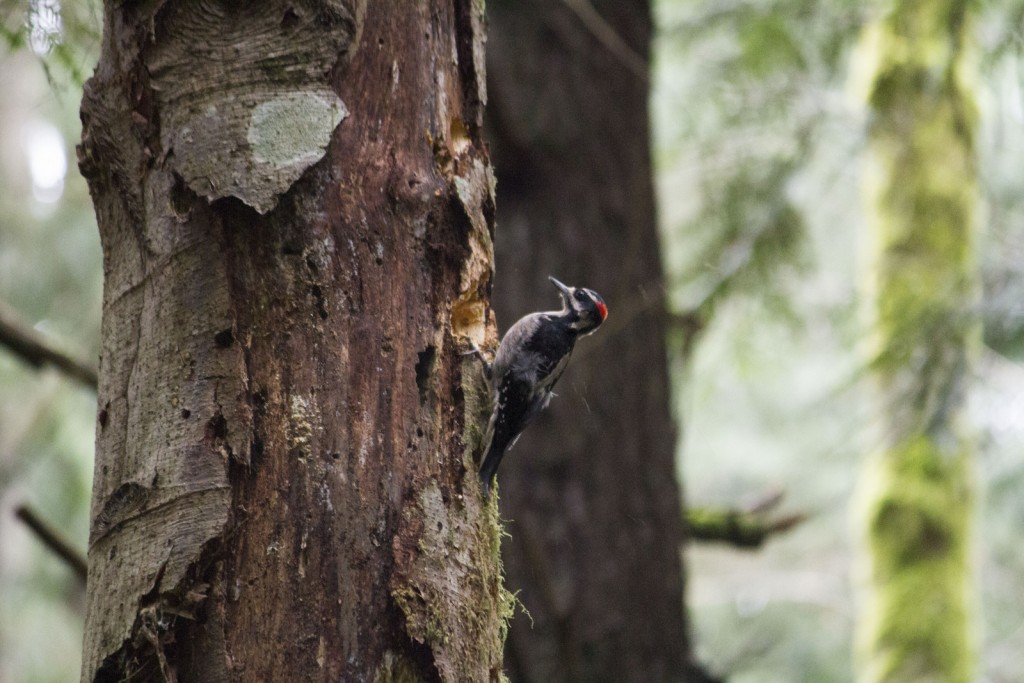 illahee-hairy-woodpecker_1