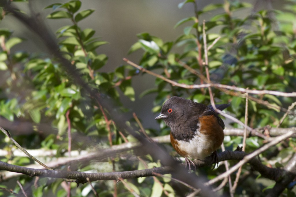 spotted-towhee_1