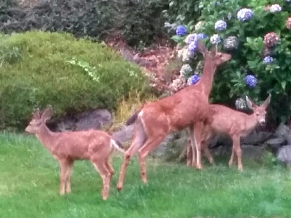 Deer in yard.1